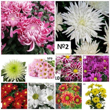 Черенки хризантем. рассада, саженцы, хризантема наложенным платежом