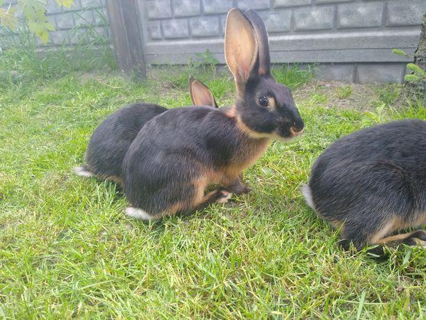 Młode króliki Zajęczaki