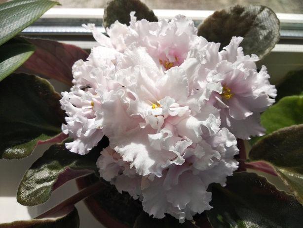 Фиалка цветущая цветок Атлантида