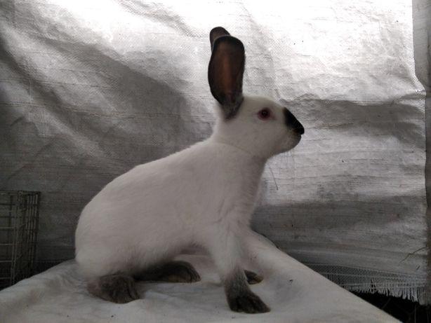 króliki kalifornijskie