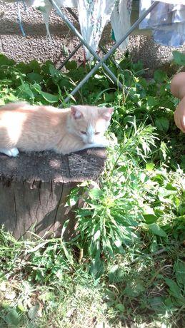 Отдам даром рыженького котика