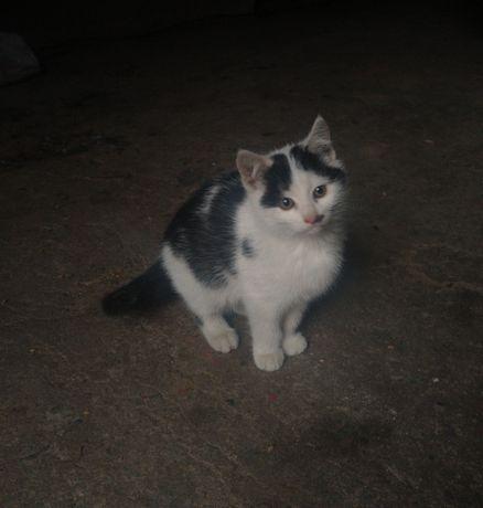 Kot kotek dachowiec czarno biały