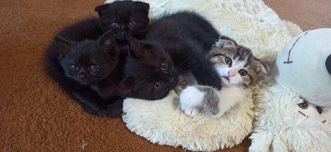 Прямоушки котята от мамы выслоушки