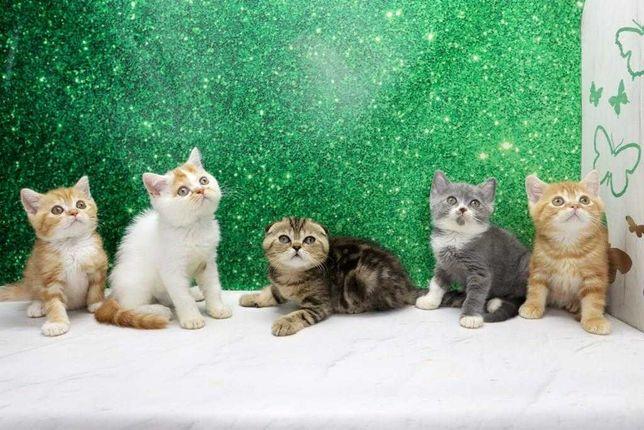 Самые привлекательные шотландские котята