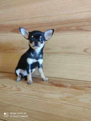 Chihuahua fêmea.