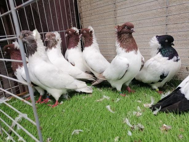 Gołębie. Zakonniki angielskie