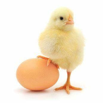 Бройлер цыплята куры несушки Доставка