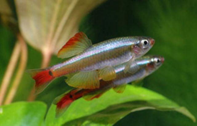 Kardynałek Chiński piekna rybka do akwarium