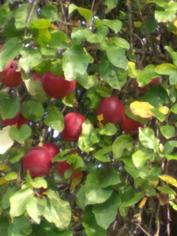 Pyszne jabłka malinówki