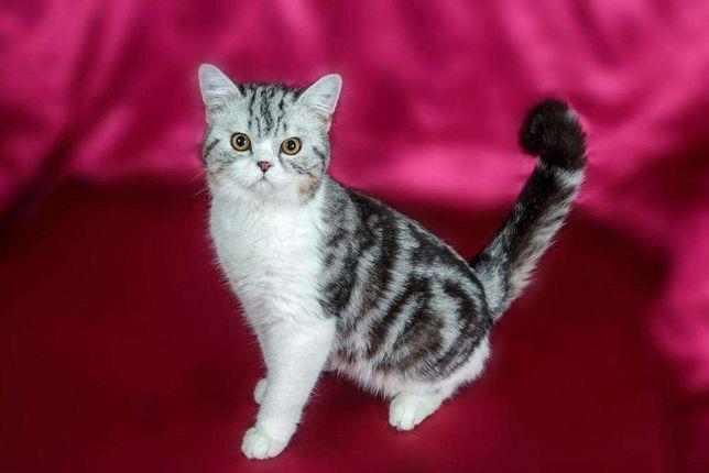 Котик черный мраморный серебристый биколор