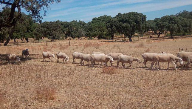 60/80 ovelhas cruzadas de Ile de France