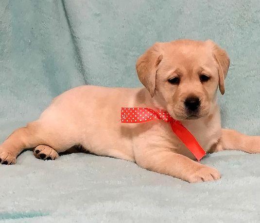 Шикарный щенок лабродор КСУ