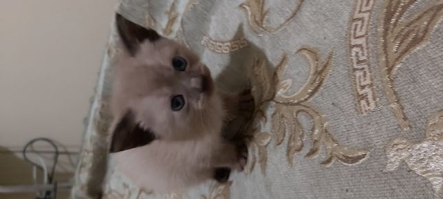 Бурманская кошечка (бурма)