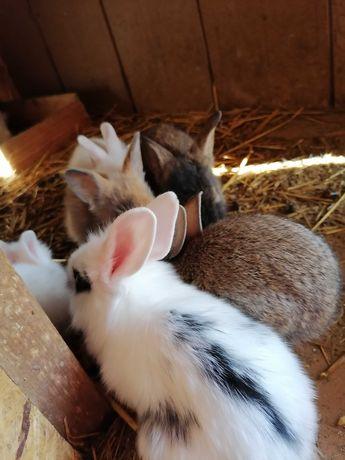 coelhos raça angora e tenho tambem tenho  do campo