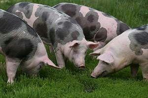 Свиня живою вагою петрен