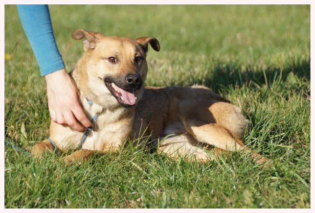 ARGOS - roczny, duży, opanowany psiak szuka domu
