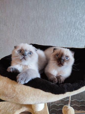 Шотландские вислоухие котята скотиш фолд котёнок котенок