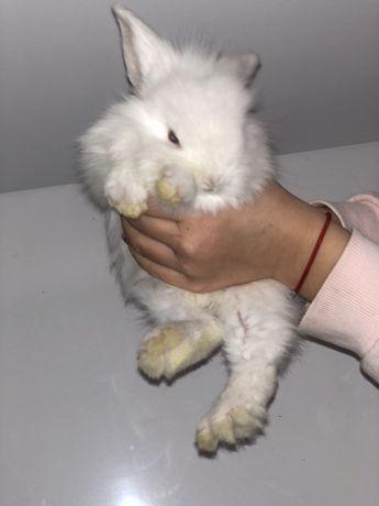 Декоративные голландские кролики