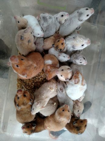 Шикарные сирийские хомячки