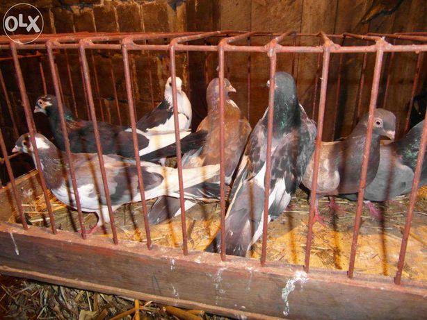 Gołębie perskie, zamojskie