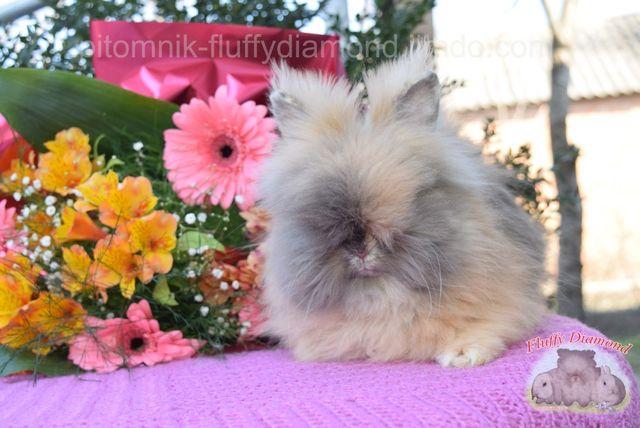 Карликовая Ангора. Очень пушистые кролики уникальной породы.