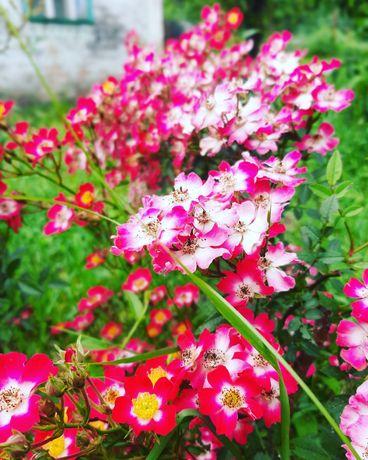 Саженцы роз, плодовые деревья и  декоративные кустарники, клубника