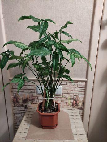 Сингониум. Комнатные растения. Цветы