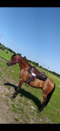 Koń arabski z potencjałem