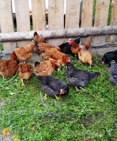 Jajka ekologiczne wiejskie od szczęśliwych kurek
