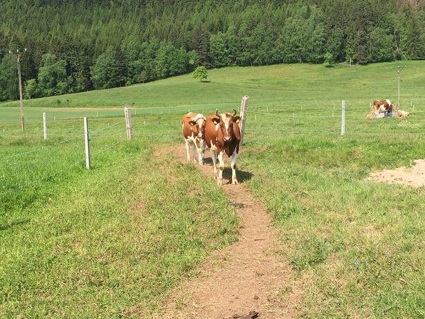 Krowy mleczne 10 sztuk z godpodarstwa ekologicznego