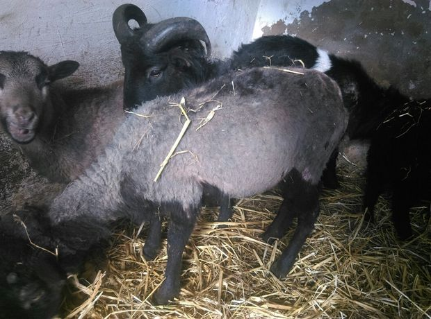 Owieczka i baran wrzosowki parka