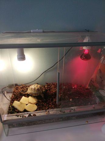 Żółw londowy z terrarium