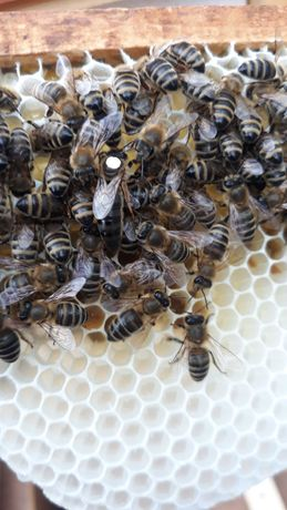 Бджоломатки Карпатки, Пчеломатки Карпатки, плідні мічені 2021