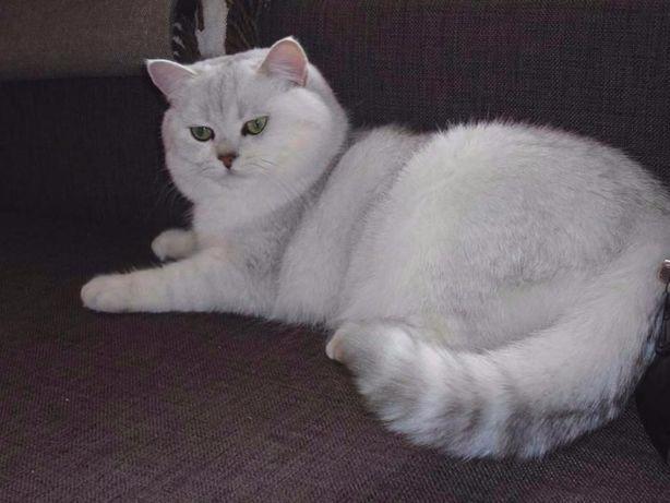 Британский кот на вязку!