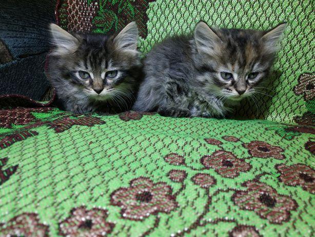 Персидські котята