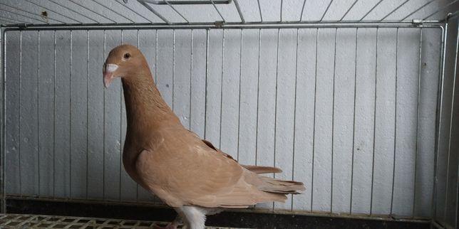 Gołębie Rzeszowskie Ptaki