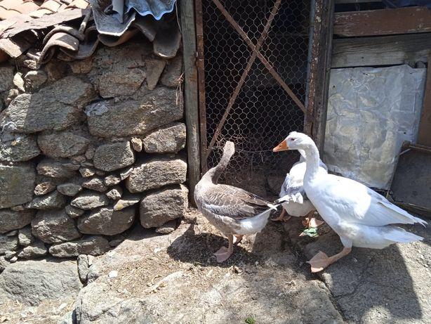 Patos Gansos Adultos