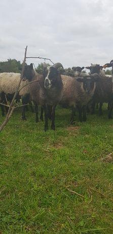 Owce wrzosówki młode