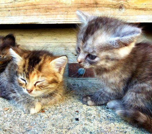 Подаруємо тигрових кошенят безкоштовно в добрі руки.