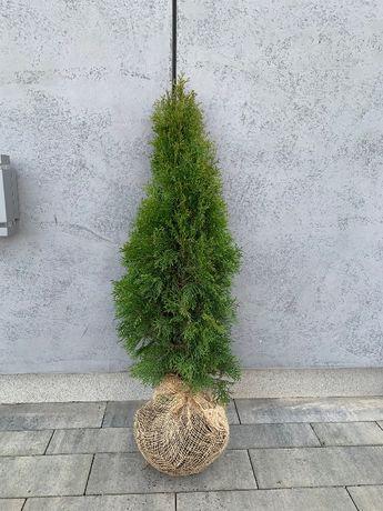 Tuja szmaragd PRODUCENT 110-120 cm