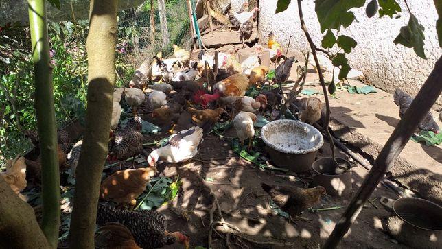 Vendo frangos caseiros, garnizos e garnizas