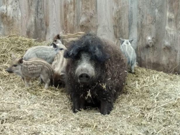 """Свиноматка з поросятками породи """"Мангал"""""""