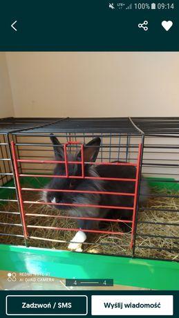 Oddam za darmo króliczka