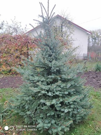 Ялинка, елка (голуба,срібна)