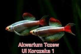 Kardynałek chiński ul Korczaka 1 Tczew
