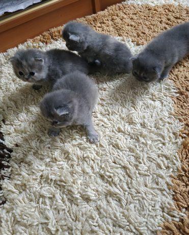 Персидские котята. Красивые девочки и мальчик