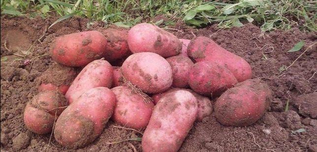 Czerwone ziemniaki