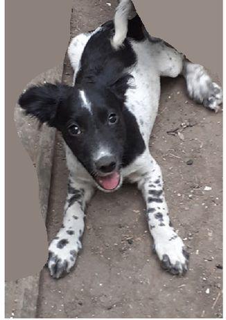 Спаниель-метис, щенок 5.5 месяцев. Привит.