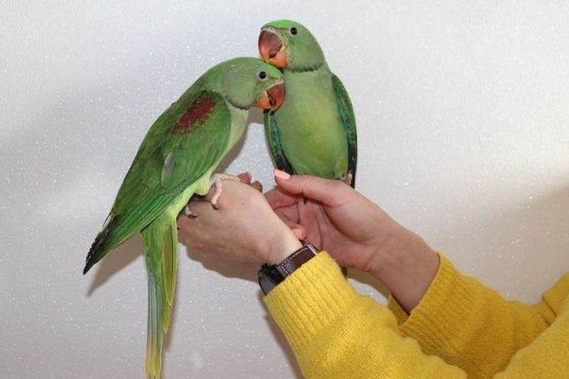 Птенцы Большого Александрийского попугая 2020 года