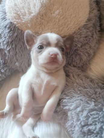 Chihuahuas machos lilac tan